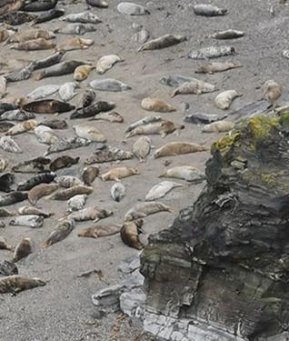 Godrevy Seals, Cornwall